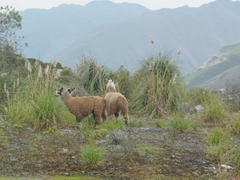 Lamas in Cajas National Park