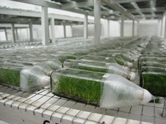 Orchids growing in bottles for export worldwide