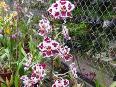 Hundred of different orchids on display at the Orchid Village