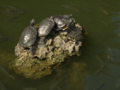 Turtles sunning themselves at Oxford College