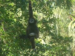 Gibbon hanging in a tree