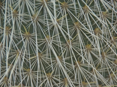Prickly cactus on Santa Fe Island. We were astounded to learn that on islands where the cacti are not a food source, their barbs are actually soft and pliable!