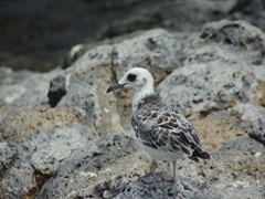 Juvenile Swallow Tailed Gull