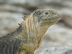 Portrait of a land iguana; South Plazas