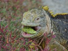 A land iguana enjoys a cactus pear; South Plazas