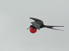 A male frigate bird flies with its gular sac inflated to attract potential female mates; North Seymour