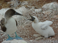 "A blue footed booby parent stares at its hungry chick as if to say, ""feeding time, again?""; North Seymour"