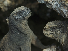 "Marine iguanas could easily have been the inspiration for ""Godzilla""; Genovesa"