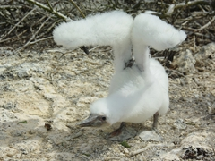 A nazca booby chick stretches its wings and waits impatiently for its parent to return for a feeding