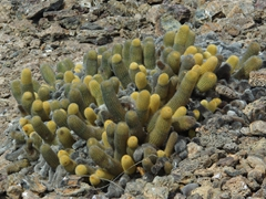 There are several different types of cacti throughout the Galapagos islands. This one is found on Genovesa