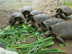 Giant tortoises gather for feeding time; Cerro Colorado on San Cristobal