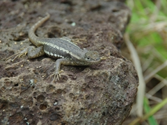 A lava lizard freezes in motion, hoping to blend in against the lava rock; Cerro Colorado, San Cristobal