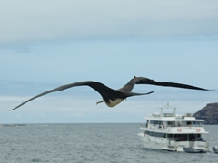 View of a frigate bird looking for a smaller bird to bully with Deep Blue in the background. Frigate birds, unable to get wet, must steal food from birds returning from the sea, chasing them until they regurgitate