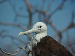 A female frigate bird eyeballs us cautiously as we avoid her nest on the foot path; North Seymour