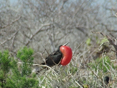 Another view of how massive the male frigate bird's throat sac can become in an effort to seduce females to mate with him; North Seymour Island