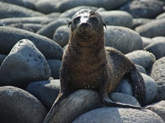 A sea lion pup calls for its mother, hungry to feed on the nutrient rich milk; North Seymour