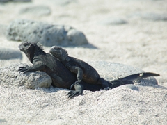 Marine iguanas huddle for body heat, sneezing, snorting, and spitting up salt from the seawater which crystallizes on their foreheads; North Seymour