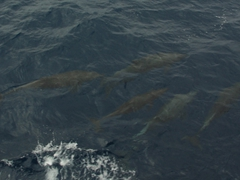 Bottlenose dolphins playing alongside our bow; Wolf Island
