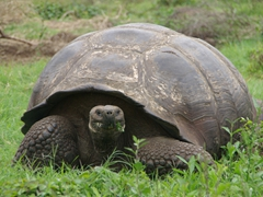 A giant tortoise checks us out as it grazes peacefully; Santa Cruz