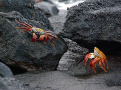 Two Sally Light-footed crabs prepare to battle over prime turf; Cormorant Point, Floreana