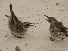 Mockingbirds yell at each other in a show of dominance; Espanola's Gardner Bay