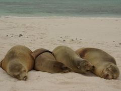 Sleeping sea lions in a row look like the picture of contentedness; Espanola
