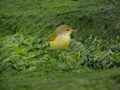 A yellow colored Darwin's Finch stands out against the green seaweed rocks of Espanola's Gardner Bay