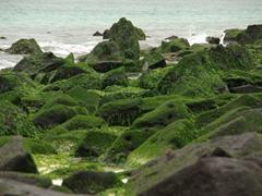 Seaweed covered rocks allow marine iguanas to easily grip their way across; Espanola Island