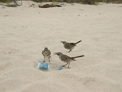 Mockingbirds are extremely resourceful. Here, three of them plot how they are going to tear this water bottle open to quench their thirst! Be careful with your belongings around these birds; Espanola Island