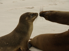 Sea lion kiss; Espanola Island