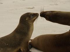 Sea lion kiss; Espanola Island