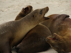 Three sea lions barking at each other in a family squabble; Espanola Island