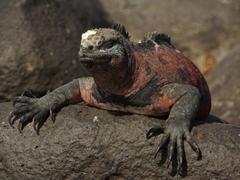 A marine iguana soaking up the ray's of the sun; Espanola's Suarez Point