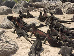 Dozens of marine iguanas resting after feeding in the sea; Suarez Point