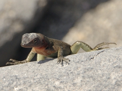 A red-throated lava lizard peers at us in curiosity; Suarez Point