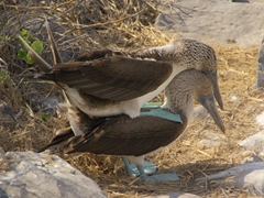 Two blue footed boobies have a brief moment of copulation (it was literally over in about 10 seconds!); Suarez Point