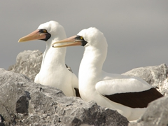 A nazca booby gifts its mate with a stone for their nest; Suarez Point