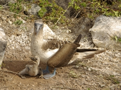 A new born blue footed booby chick is guarded protectively by one of its parents; Suarez Point