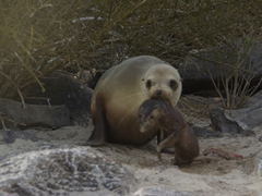 A mother sea lion vigorously shakes her stillborn pup which is still attached to the placenta. Sadly, the pup made no motion of movement, and we didn't think the pup was going to survive