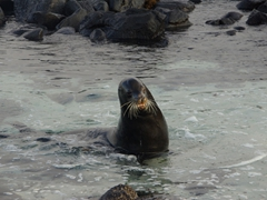 An aggressive bull sea lion patrols his territory. Beware these sea lions...one of our fellow SCUBA divers was bitten on the leg when the bull determined him to be a threat, and we heard that a lady snorkeling off San Cristobal's sea lion colony was viciously attacked by an aggressive bull sea lion