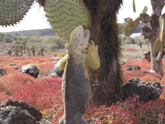 A hungry land iguana props itself on its hind legs and devours a piece of this cactus; South Plazas