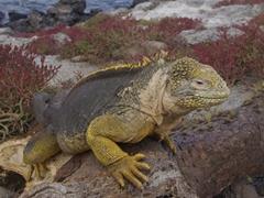 Close up portrait of a friendly land iguana; South Plazas