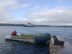 A friendly sea lion tries repeatedly to hop into our panga; South Plazas