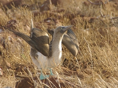 A blue footed booby performing a mating dance; North Seymour