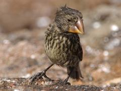 Close up of a Darwin Finch; Genovesa