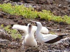 A nazca booby feeding; Genovesa