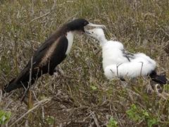 A Frigate bird regurgitates fish for its hungry chick; Genovesa's Darwin Bay