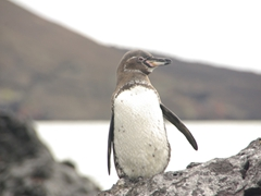 A Galapagos penguin poses in solitude; Bartolome