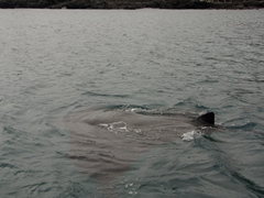 A large manta ray skims the surface of the water near our panga; Bartolome