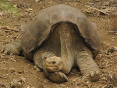Lonesome George is the last of his species from Pinta Island; Charles Darwin Center on Santa Cruz